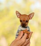 O cachorrinho vermelho minúsculo nas mãos no homem Cão bonito em uma camiseta da malha fotografia de stock royalty free