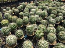 O cacto é uma planta encantador O cultivo do cacto é felicidade do amante do cacto imagem de stock