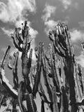 O cacto alto do Saguaro planta a planta carnuda no deserto Fotos de Stock Royalty Free