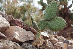 O cacto cresce em ruínas antigas em Teotihuacan, Cidade do México Imagem de Stock