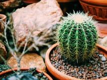 O cacto da bola é crescido no vaso de flores Imagem de Stock