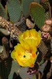 O cacto de florescência Fotos de Stock