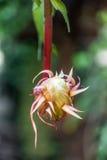 O cacto de orquídea que floresce na noite Imagens de Stock Royalty Free