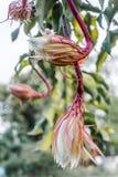 O cacto de orquídea que floresce na noite Imagem de Stock Royalty Free