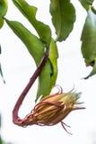 O cacto de orquídea que floresce na noite Foto de Stock