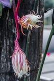 O cacto de orquídea que floresce na noite Foto de Stock Royalty Free