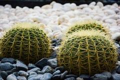 O cacto de tambor dourado ou o grusonii Hildm de Echinocactus, este são a árvore que eram muitos espinhos, seu olhar do deserto d fotos de stock