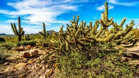 O cacto do lápis é semi a paisagem do deserto do parque regional da montanha de Usery perto de Phoenix o Arizona Fotos de Stock