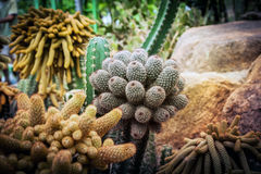 O cacto e a planta carnuda no jardim de Nong Nooch Pattaya estacionam, Tailândia Foto de Stock