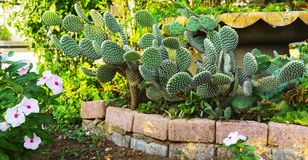 O cacto verde do beavertail em um jardim com verão branco da mola floresce e imagem de fundo floral da natureza das hortaliças da imagens de stock royalty free