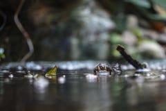 O caimão de óculos foto de stock royalty free