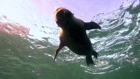 O californianus californiano do Zalophus dos leões de mar está jogando com com os mergulhadores no mar La Paz de Cortez da ilha d vídeos de arquivo