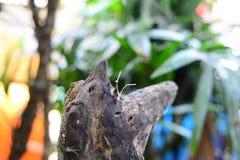 O camaleão de Brown que descansa no log de madeira fotografia de stock royalty free
