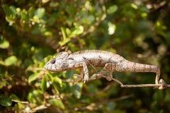 O camaleão do ` s de Petter, Furcifer Petteri é relativamente abundante nas áreas costais de Madagáscar do norte fotografia de stock