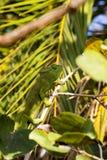 O camaleão do ` s de Petter, Furcifer Petteri é relativamente abundante nas áreas costais de Madagáscar do norte fotografia de stock royalty free
