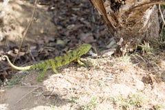 O camaleão do ` s de Petter, Furcifer Petteri é relativamente abundante nas áreas costais de Madagáscar do norte fotos de stock royalty free