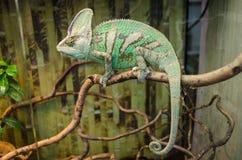O camaleão listrado verde senta-se em um ramo imagens de stock