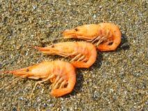 O camarão Foto de Stock
