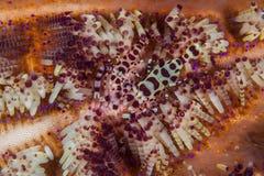 O camarão de Coleman entre espinhas do diabrete foto de stock royalty free