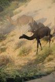 O camelo come a folha Fotos de Stock