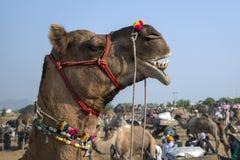 O camelo decorou a cabeça na feira de Pushkar, Rajasthan, India Imagem de Stock