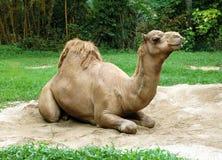 O camelo do Dromedary senta-se na areia fotografia de stock royalty free