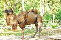 O camelo no jardim zoológico aberto fotografia de stock