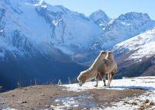 O camelo que pasta na neve Fotografia de Stock