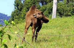 O camelo tem um comichão Fotos de Stock