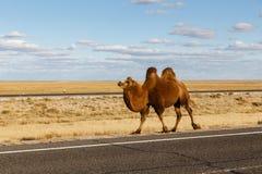 O camelo Two-humped vai na estrada fotos de stock
