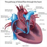 O caminho do sangue corre através do coração Imagem de Stock