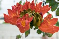 O campanulata de Spathodea igualmente chamou o tuliptree africal, árvore com as flores de sino vermelhas bonitas imagens de stock