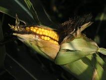 O campo amadureceu o milho Imagem de Stock