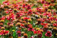 O campo bonito do gaillardia amarelo vermelho ou das flores gerais em um jardim botânico fotografia de stock