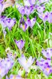 O campo com açafrões na natureza selvagem Fotografia de Stock Royalty Free