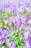 O campo com açafrões na natureza selvagem Imagem de Stock Royalty Free