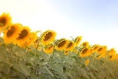O campo com flores de um girassol Imagem de Stock