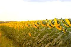 O campo com flores de um girassol Fotografia de Stock