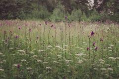 O campo com flores roxas imagem de stock