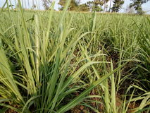 O campo da cana-de-açúcar fotos de stock royalty free