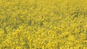 O campo da colza, flores de floresc?ncia do canola no campo no ver?o video estoque