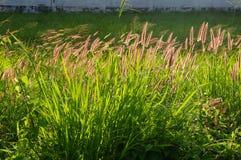 O campo da grama do setaceus do Cenchrus floresce na luz do dia Fotos de Stock