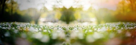 O campo da margarida com flores múltiplas e o sol alargam-se imagem de stock