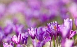 O campo da mola de florescência da mágica floresce o açafrão Fotos de Stock Royalty Free