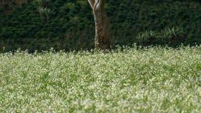 O campo da mostarda com a flor branca em DonDuong - Dalat- Vietname imagens de stock royalty free