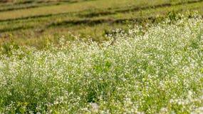 O campo da mostarda com a flor branca em DonDuong - Dalat- Vietname fotografia de stock royalty free
