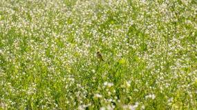 O campo da mostarda com a flor branca em DonDuong - Dalat- Vietname imagens de stock