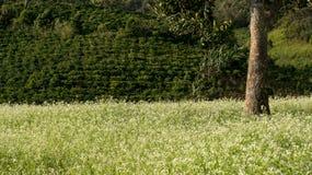 O campo da mostarda com a flor branca em DonDuong - Dalat- Vietname foto de stock royalty free