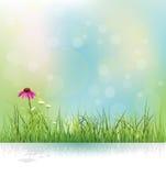 O campo da natureza da mola, a grama verde, o prado das flores brancas e o echinacea (coneflower roxo) florescem ilustração stock