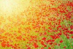 O campo da papoila de milho vermelha brilhante floresce no verão imagem de stock royalty free